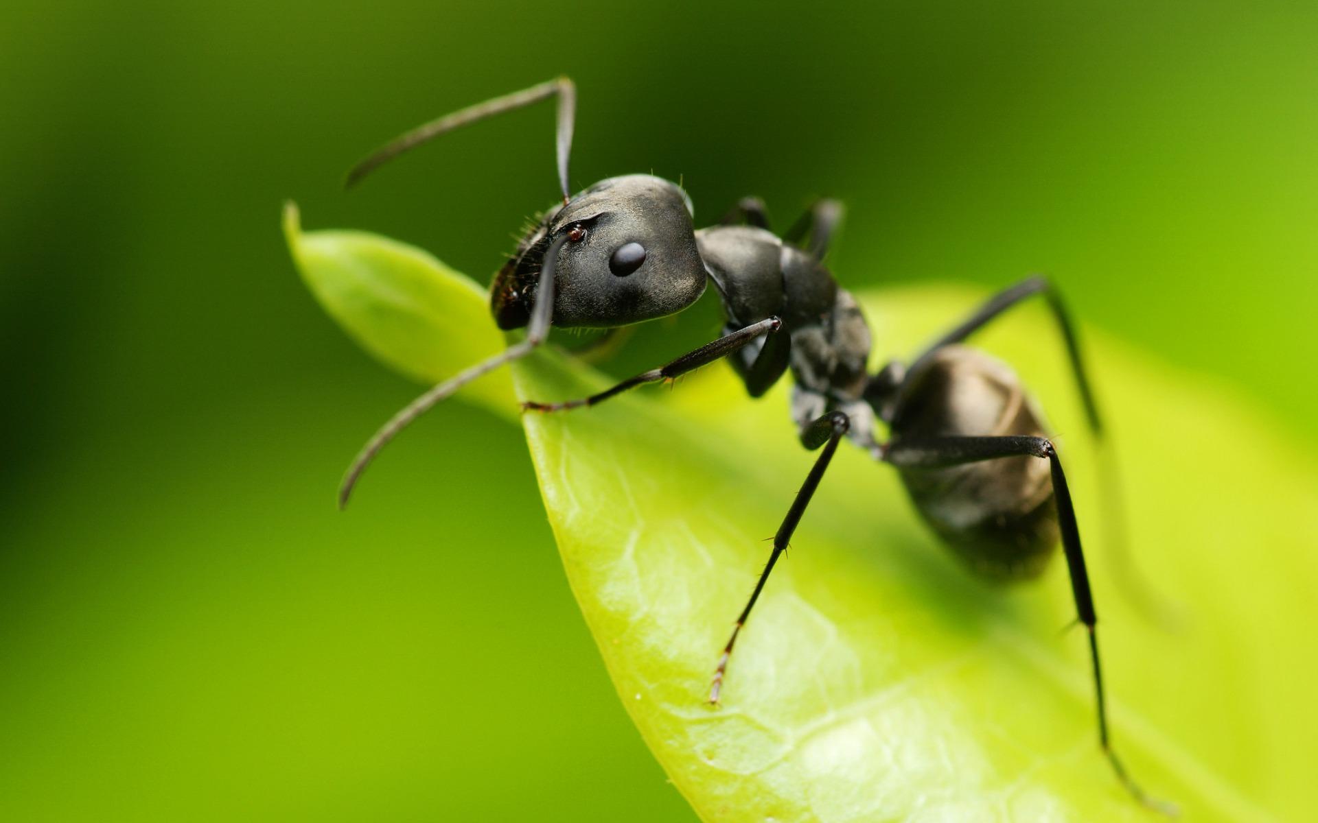 Recettes naturelles anti fourmis - Repulsif fourmi huile essentielle ...
