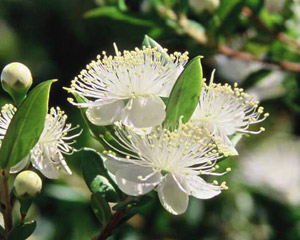 Huile essentielle de myrte rouge for Myrte arbuste