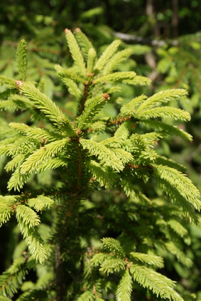 Norway Spruce (Picea Abies) Shoots