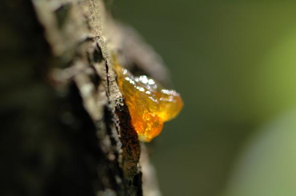 huile essentielle de baume du tolu
