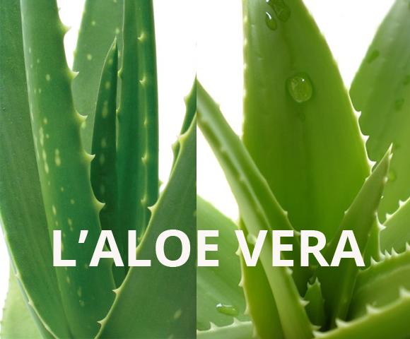 Aloe vera - 580 x 480
