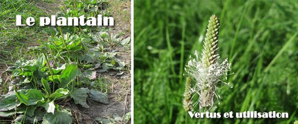 Le plantain une plante m dicinale for Acheter une plante