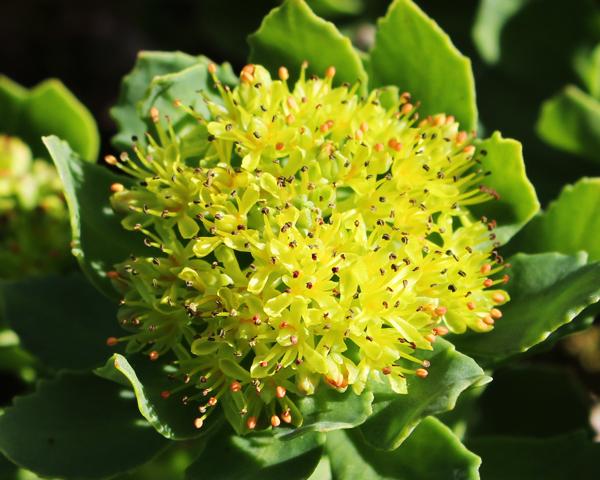 rhodiola rosea